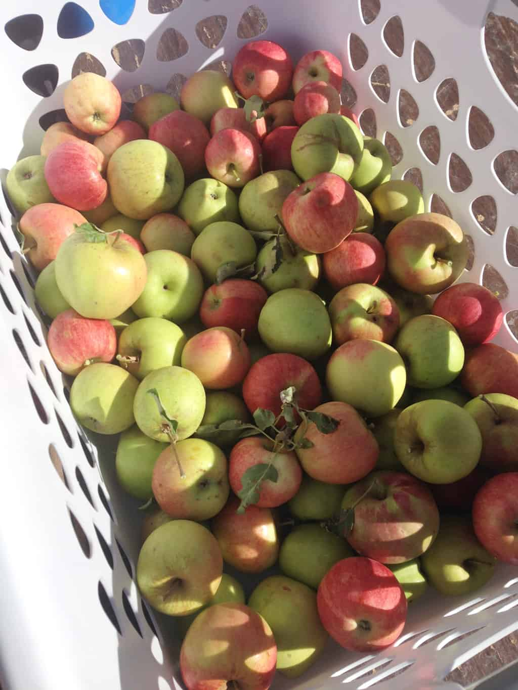 A laundry basket full of apples