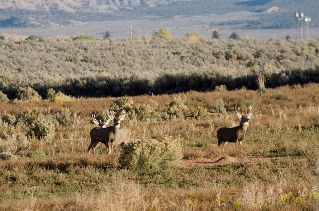 3 male deer in an open field