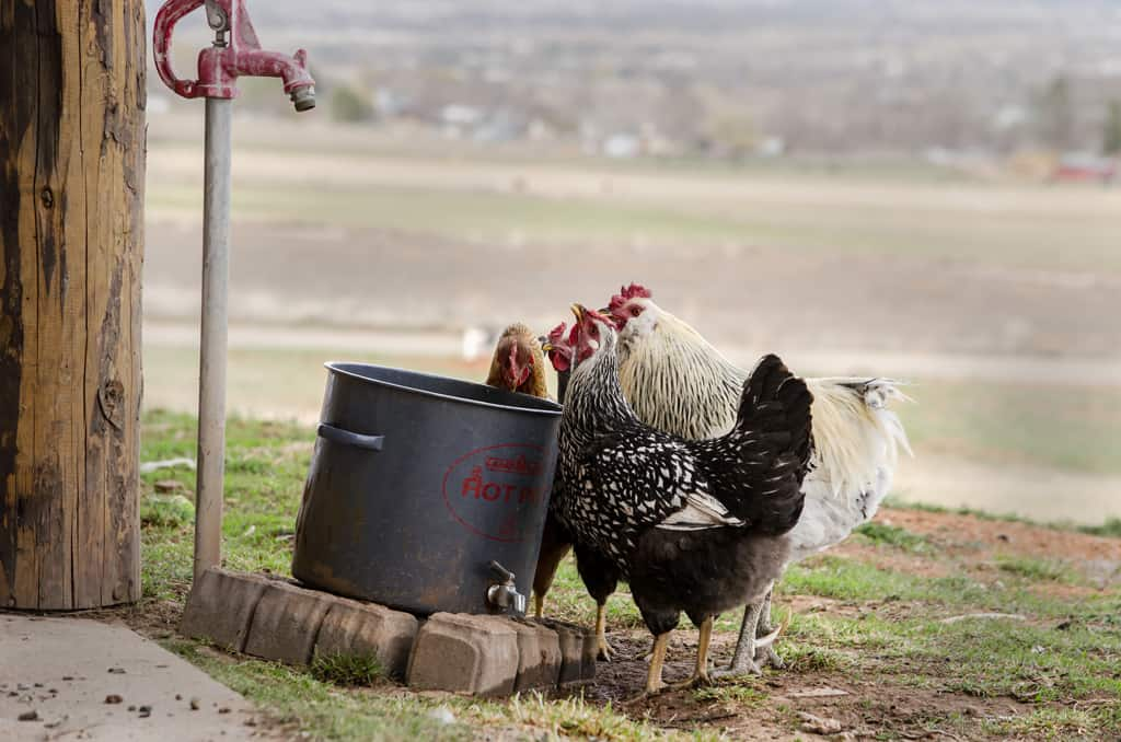 A Group of chickens around a water bucket