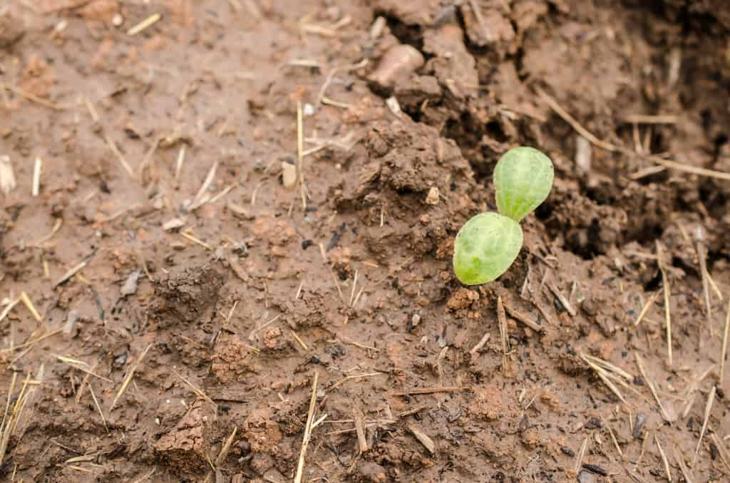 The new seedling of a squash in dirt