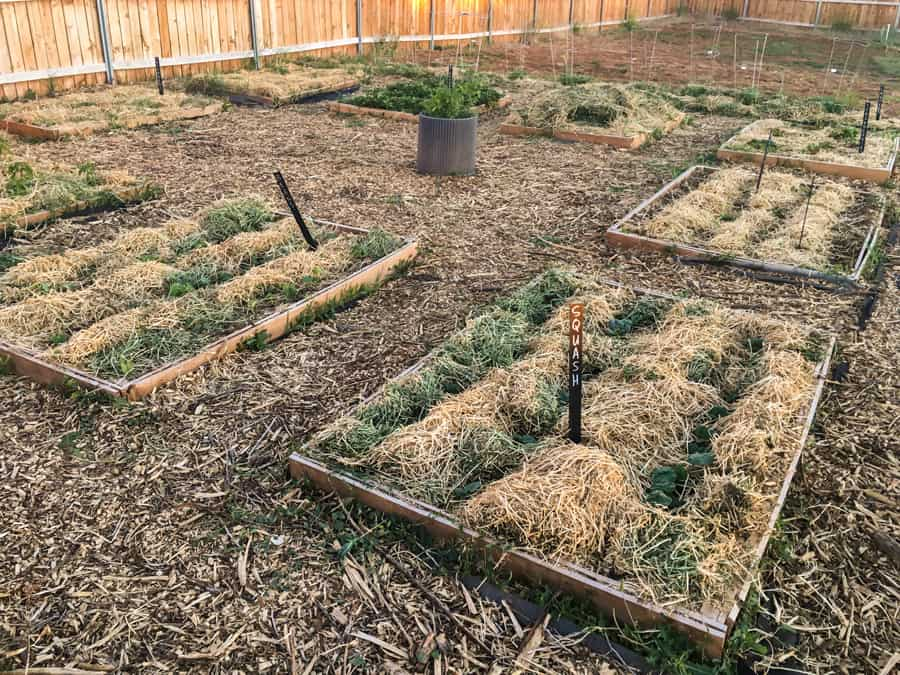 a raised bed garden growing with hay mulch