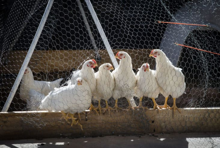 Have you tried raising meat chickens on your homestead? Click here to find out how we did it and learn from our mistakes too. #homesteading #chickens #meatchickens