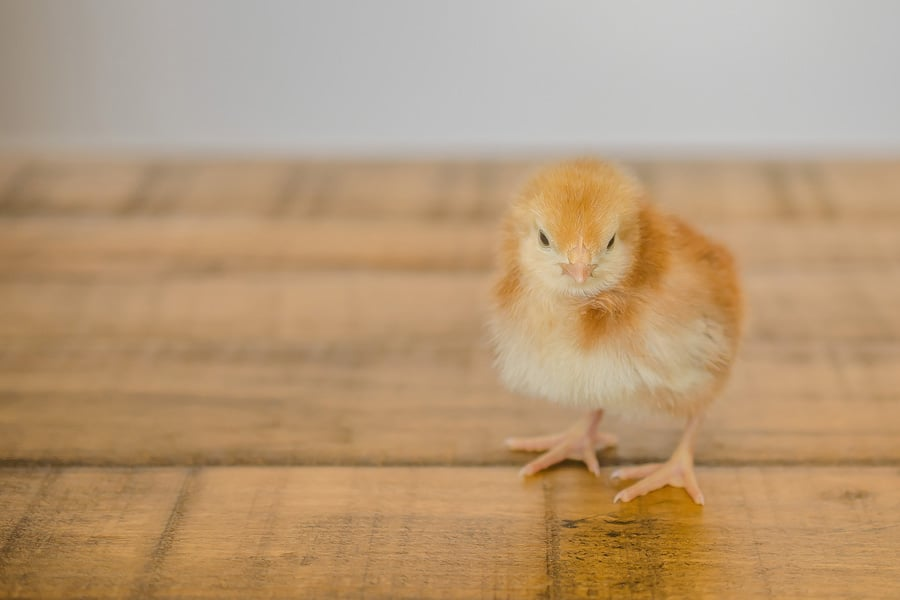 baby chick on wood table