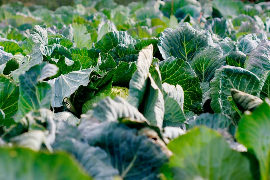 cabbage in the field
