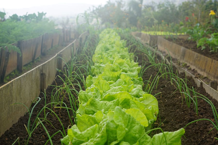 raised bed garden with lettuce