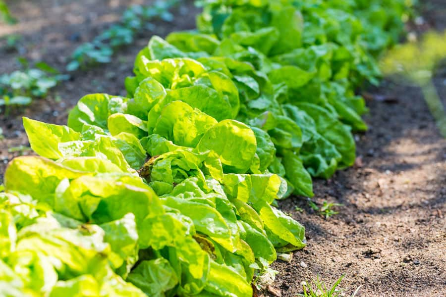 lettuce growing in a garden