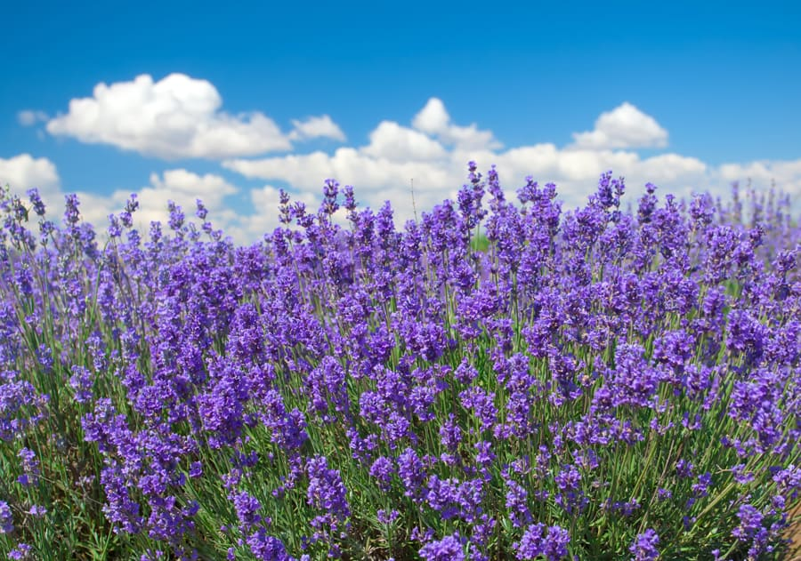 field of lavender with blue sky