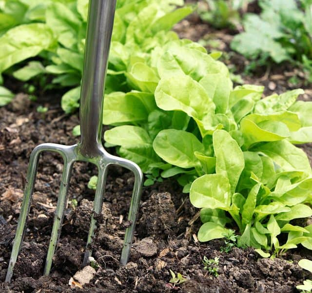 garden fork in garden with lettuce