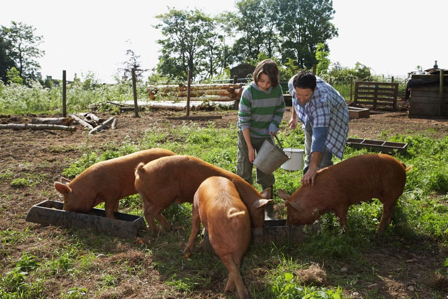 father and son feeding pigs