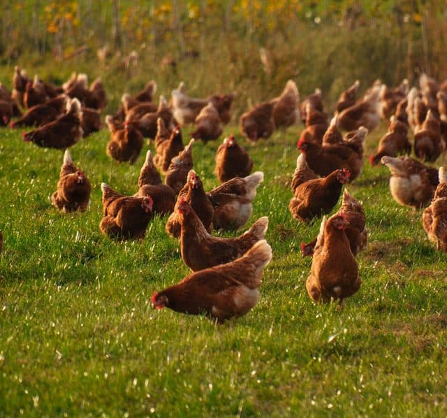 brown chickens in the grass