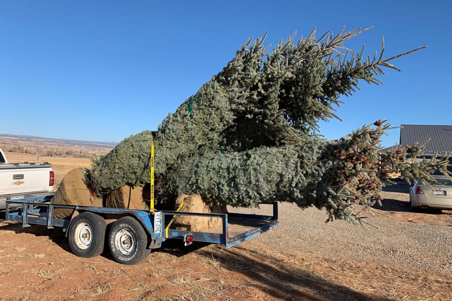 large evergreen trees on a trailer