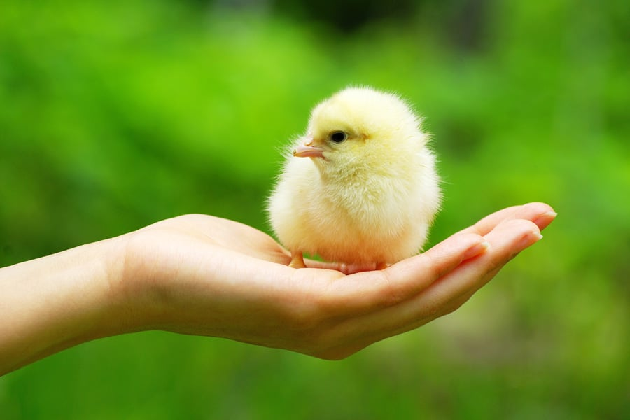 a baby chick in a woman's hand